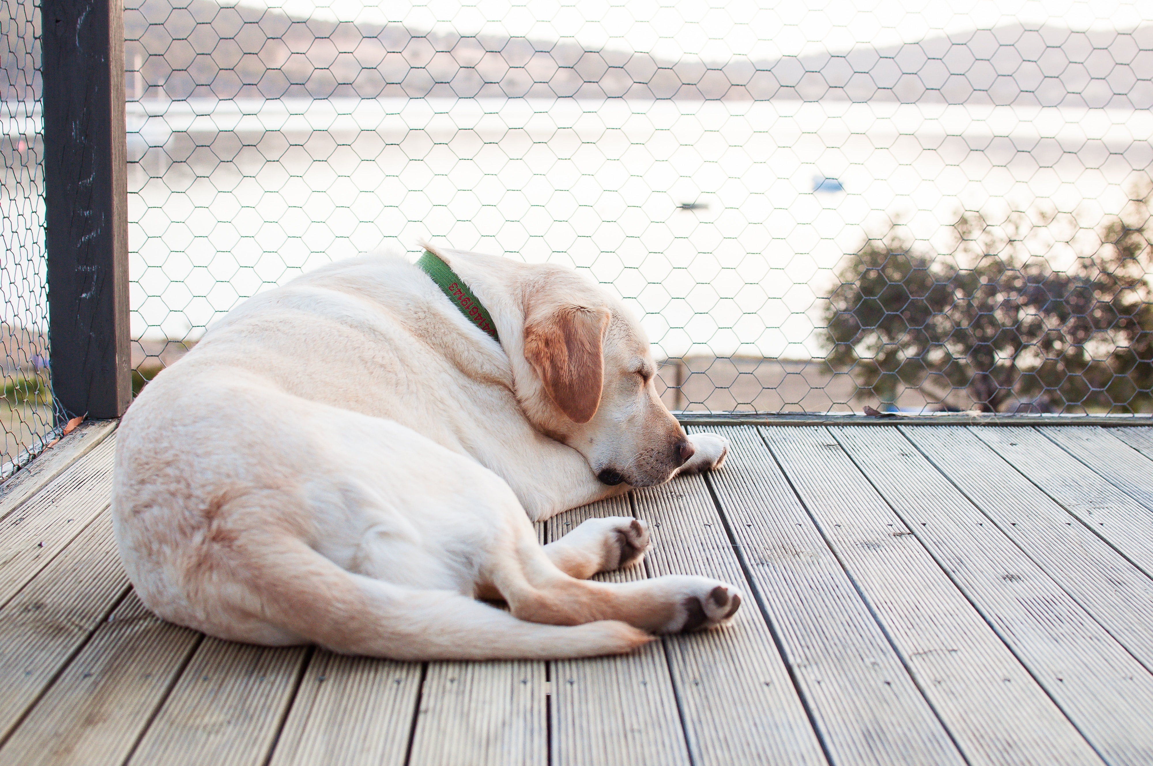 White shorthaired dog sleeping on wooden deck